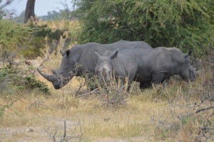 Highlight of the trip – a truly magnificent sight to see a White Rhino let alone three!