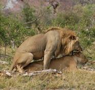 zam-lion